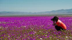 Σπάνιο φαινόμενο: Άνθισε η πιο ξερή έρημος του κόσμου, έπειτα από απρόσμενη
