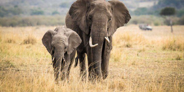 NAIROBI, Aug. 30, 2017 -- Two elephants walk at the Maasai Mara National Reserve, Kenya, Aug. 28, 2017....