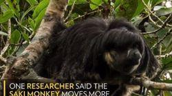 Μυστηριώδες ζώο του Αμαζονίου εντοπίστηκε ζωντανό για πρώτη φορά μέσα σε 80