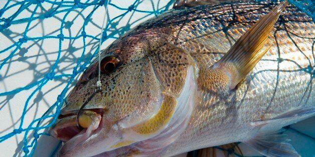 Dentice (Dentex Dentex). Mediterranean Snapper. Poseidon Charter. www.poseidonfishing.net. Isola Rossa...