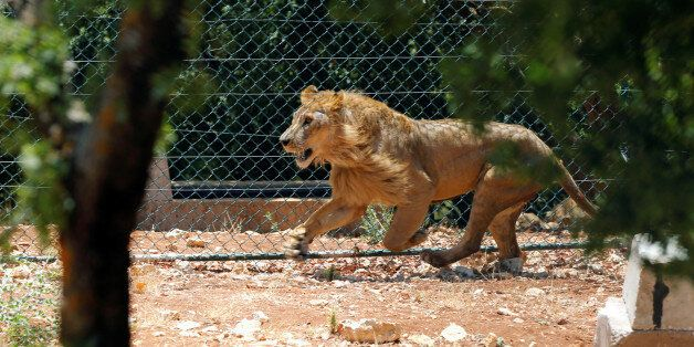 A lion, one of thirteen animals transported from a zoo in the Syrian city of Aleppo, is seen at Al Ma'wa...