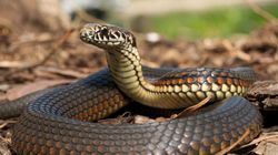 Τα φίδια είναι η μεγαλύτερη απειλή για τη νήσο Γκουάμ. Έφτασαν πριν χρόνια και δεν λένε να