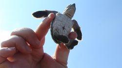 Το πρόγραμμα προστασίας της Κύπρου για τις θαλάσσιες χελώνες, ένα από τα καλύτερα στη