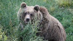 Αρκούδα επιτέθηκε σε κυνηγό στη