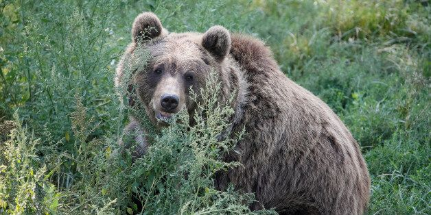A brown bear is seen in a shelter for bears in the village of Berezivka near Zhytomyr, Ukraine August...