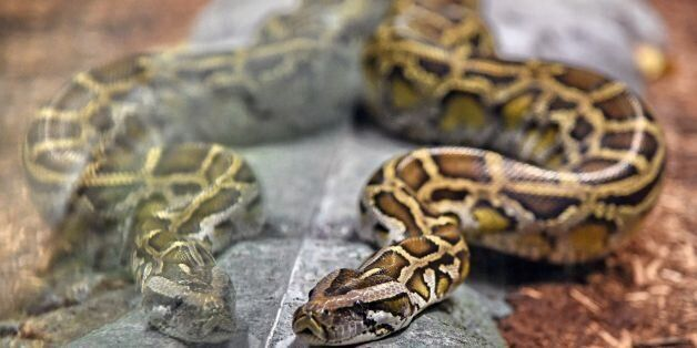 A reticulated python is seen in its enclosure at the Singapore Zoo's new Reptopia exhibit during a media...