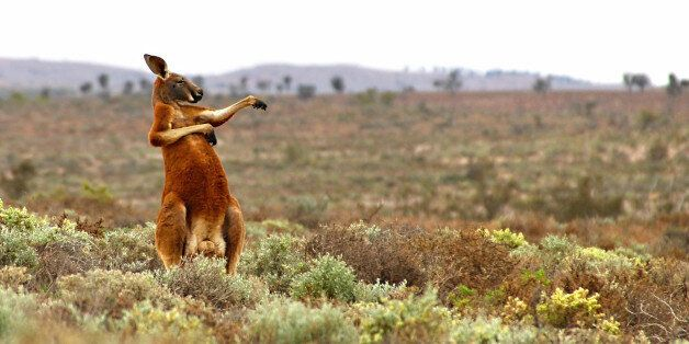 *** EXCLUSIVE ***FOWLERS GAP, AUSTRALIA - AUGUST 16, 2013: A red kangaroo starts his day with some martial...