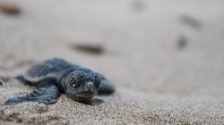 Τα πρώτα χελωνάκια Caretta caretta της σεζόν ανακαλύφθηκαν στη