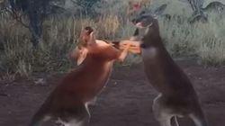 Βίντεο: Όταν τα καγκουρό προπονούνται στο κικ