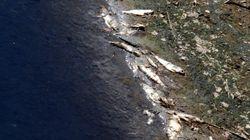 Λάρισα: Μεγάλη ποσότητα νεκρών ψαριών ξεβράστηκε σε παραλία της