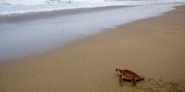 A caretta caretta turtle makes its way to the sea in Cofete, south of the Spanish Canary island of Fuerteventura,...