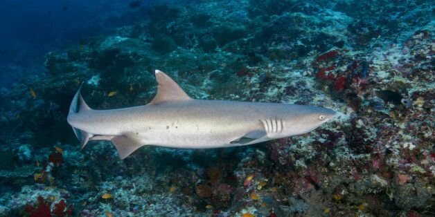 INDIAN OCEAN, MALDIVES - MARCH 19: Whitetip reef shark (Triaenodon obesus) swim over coral reef in the...