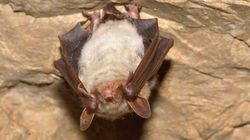 Η πιο παράξενη νυχτερίδα του κόσμου βρίσκεται στη Βραζιλία και προβληματίζει (ακόμα) τους