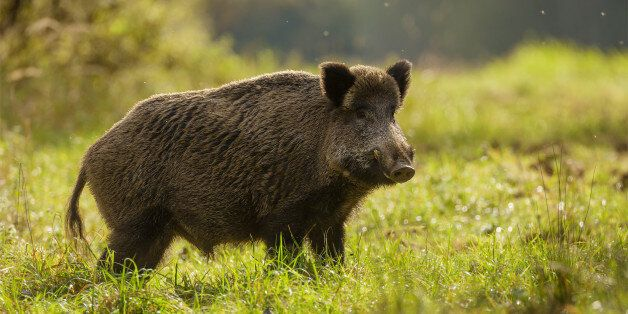 Wild boar foraging for apples during indian summer in