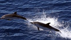 Νεκρό δελφίνι ξεβράστηκε στη Χαλκιδική. Τουλάχιστον 450 έχουν θανατωθεί την τελευταία 15ετια στην