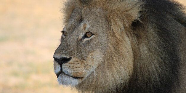 Cecil the Lion was killed by a hunter in July 2015. This image was taken the previous year while he was...