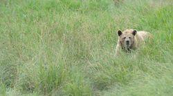 Αρκούδα θύμα τροχαίου στη νέα εθνική οδό Αμυνταίου –