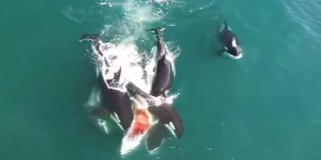 Βίντεο: Φάλαινες όρκες επιτίθενται σε φάλαινα