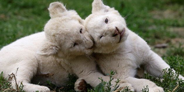 Newly-born white lion cubs play in their enclosure at a private zoo in the village of Dvorec, Czech Republic,...