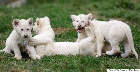 Τα σπάνια πεντάδυμα λευκά λιοντάρια που γεννήθηκαν στην Τσεχία έγιναν 2