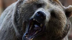 Αρκούδα στα Πυρηναία οδηγεί 209 πρόβατα στον θάνατο. Γιατί οι Γάλλοι κτηνοτρόφοι
