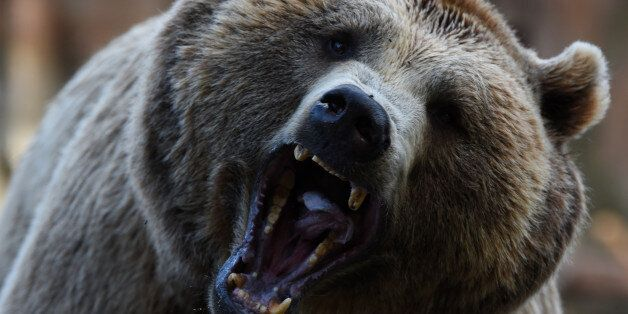 ZOO AQUARIUM, MADRID, SPAIN - 2017/07/20: A Brown bear pictured waiting for food at Madrid zoo. (Photo...