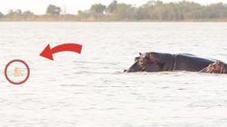 Καρχαρίας επιτίθεται σε αγέλη ιπποποτάμων - Δείτε τι