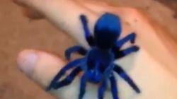 Βίντεο: Αυτή η σπάνια ταραντούλα έχει χρώμα μπλε