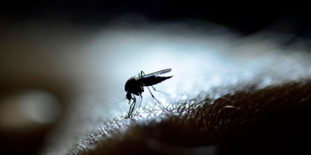 A mosquito in close-up and backlit by a
