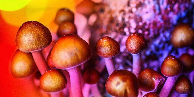 Closeup shot of experimental growth of Psyllocubin mushrooms aka psychedelic mushrooms. Lit by gel colored...