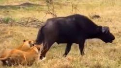Λιοντάρια αρχίζουν να τρώνε ζωντανό ένα βουβάλι μέχρι τη στιγμή που δέχονται συντονισμένη επίθεση από το