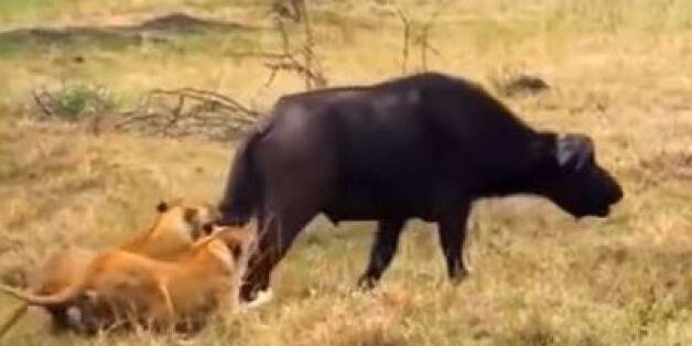 Λιοντάρια αρχίζουν να τρώνε ζωντανό ένα βουβάλι μέχρι τη στιγμή που δέχονται συντονισμένη επίθεση από...