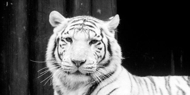 White tiger portrait. Black and white