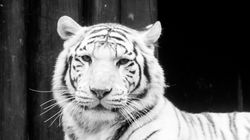 Ένα σπάνιο «είδος» τίγρη ίσως εντοπίστηκε στην