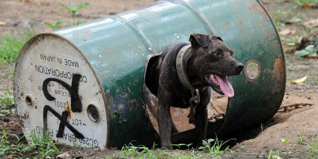 A dog rescued from a South Korean-run online dog fighting racket is chained to a steel barrel used as...