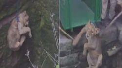 Βίντεο: Διάσωση μικρού λιονταριού από πηγάδι στην