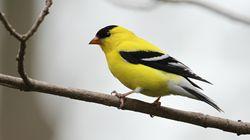 3 milliards d'oiseaux ont disparu en Amérique du Nord depuis