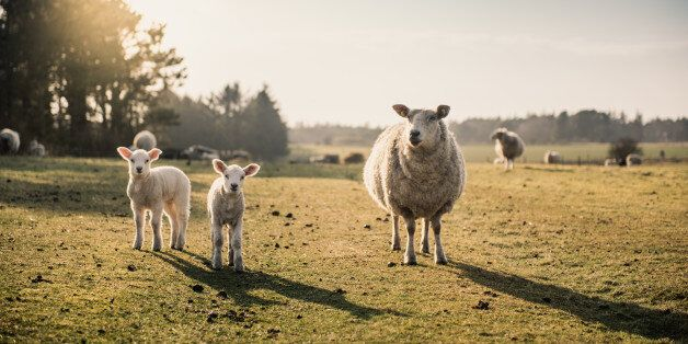 A sheep with two