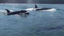 Βίντεο: Φάλαινες όρκες «επισκέπτονται» ομάδα από
