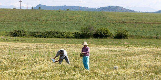Αποστόλου: Παραχώρηση 1.000 στρεμμάτων σε 100 νέους αγρότες για την καλλιέργεια αρωματικών φυτών στην