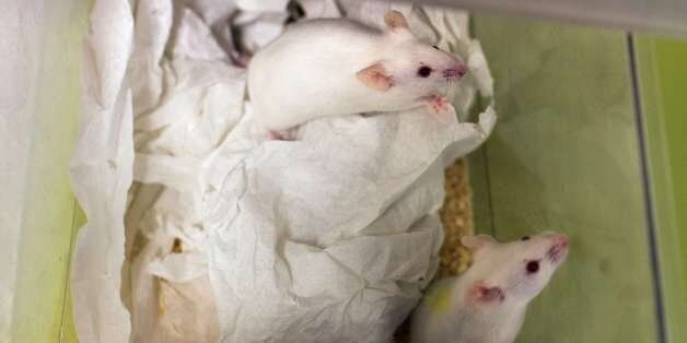 This picture taken on January 23, 2014 shows mice in a box at the Neurosciences rechearch Center CERMEP...