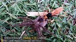 Γιγαντιαία αράχνη μάχεται ενάντια στην «πιο μοχθηρή σφήκα του