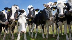 Αερομεταφορά 4.000 αγελάδων Χολστάιν στο Κατάρ σχεδιάζει επιχειρηματίας για να μην εκλείψει το
