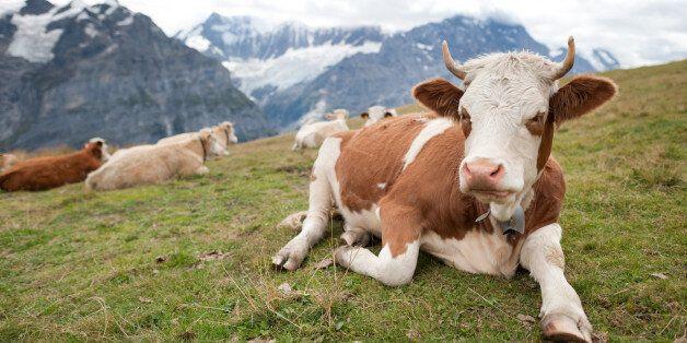 Αγελάδα σκότωσε γυναίκα στις Αυστριακές