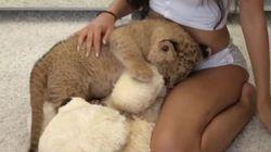 Βίντεο: Πώς αντιδρά (ή φαίνεται να αντιδρά) λιονταράκι όταν σέξι μοντέλο του