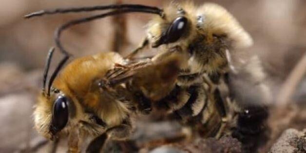 Βίντεο: Το σεξ μεταξύ μελισσών είναι αλλόκοτα...βρώμικο (και ίσως σας κάνει να νιώσετε λίγο
