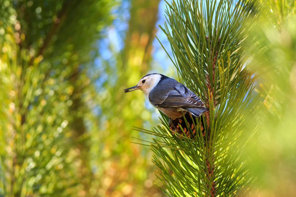 A white-nuthatch (Sitta carolinensis) gathers seeds from pinecones in Maxwell Canyon, Utah,