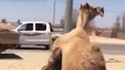 Καμήλες ζευγαρώνουν ανενόχλητες στη μέση αυτοκινητόδρομου στο
