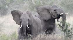 Ελέφαντες το βάζουν στα πόδια επειδή τους