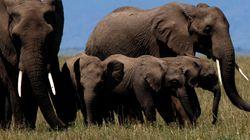 Νοτιοαφρικανός κυνηγός σκοτώθηκε όταν έπεσε πάνω του ελέφαντας σε